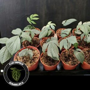 Philodendron Amydrium Silver