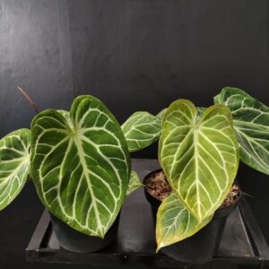 Anthurium Crystallhope (mother plants) large